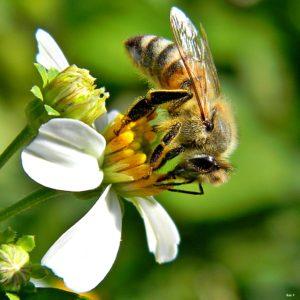 Een Braziliaanse bijensoort kweekt zelf schimmel. Foto: Bob Peterson