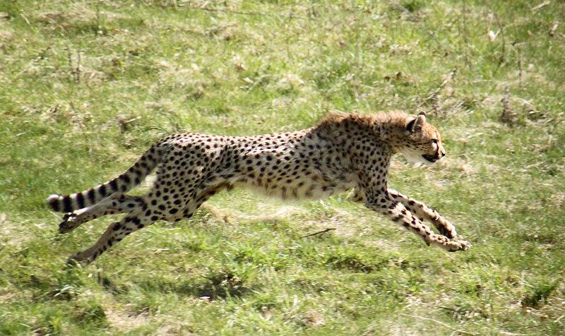 Een rennende cheeta Bron: Wikimedia Commons/Malene Thyssen