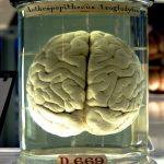 Hersenen van een chimpansee uit het Science Museum in Londen - c - Flickr/Kaldari