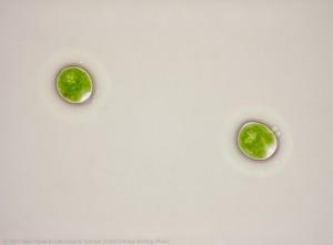Chlamydomonas komt van nature als eencellige voor Foto: Kristi Yim