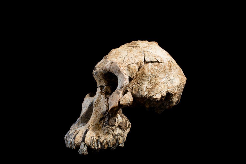 Australopithecus anamesis