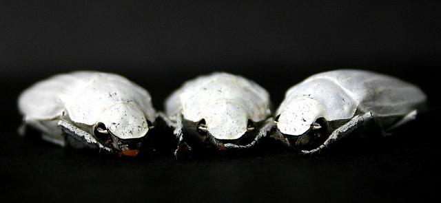 Cyphochilus-kevers zijn zo wit als sneeuw dankzij het speciale chitinenetwerk in hun schilden. Credit: Creative Commons; Flickr