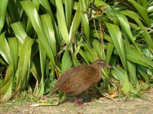 Weka, loopvogel in Nieuw-Zeeland