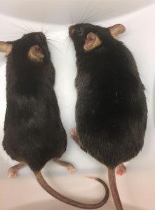 Muis wordt dik door genmutatie