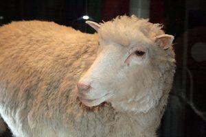 Het eerste kloonschaap Dolly bracht een hoop controverse met zich mee. Beeld: Toni Barros/Wikimedia Commons