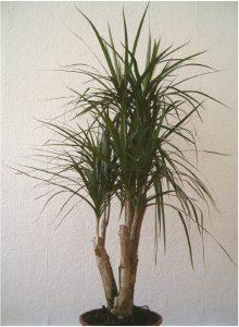 Kamerplant dracaena marginata. Beeld: BotBln