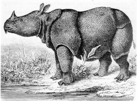 Een tekening van een Javaanse neushoorn uit 1862. Bron: Hermann Schlegel via Wikimedia Commons