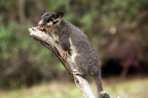De aandoenlijke maar zeldzame Australische buideleekhoorn. Foto: Takver/via Flickr