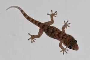 Deze gekko blijft aan de muur plakken door statische aantrekkingskracht tussen zijn voetjes en de muur. Bron: Wikimedia Commons