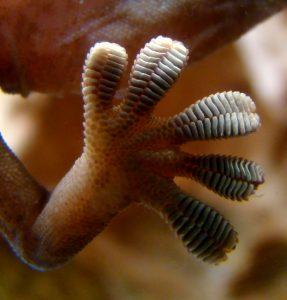 Gekkovoetjes zijn bezaaid met minuscule haartjes waardoor ze aan allerlei oppervlakken kunnen plakken. Bron: Wikimedia Commons