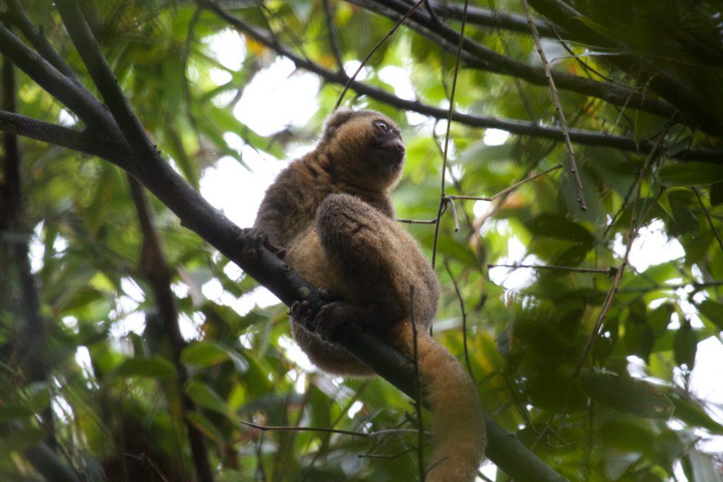 Gouden halfmaki in de bossen van Madagaskar. Bron: Brian Gratwicke via Flickr CC
