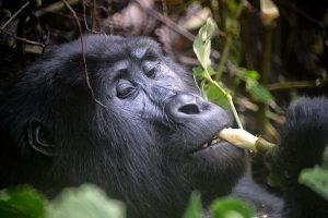 Gorilla's zingen of neuriën tevreden tijdens het eten. Foto: Rod Waddington