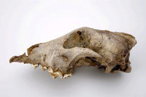 De hond van Goyet is het oudst bekende fossiel van een hondachtige Bron: KBIN