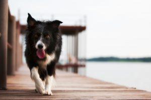 Moderne honden stammen waarschijnlijk af van twee familielijnen. Foto: Greg Westfall