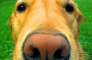 Hondenneus