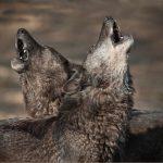 : Huilende wolven in het Wolf Science Center in Oostenrijk, waar de studie plaatsvond. Bron: Mazzini et al