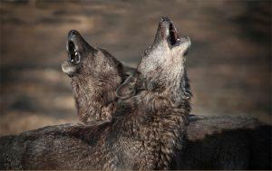 Huilende wolven in het Wolf Science Center in Oostenrijk, waar de studie plaatsvond. Bron: Mazzini et al