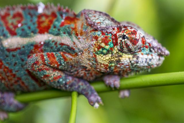 Kleur Veel Kleur : Kameleon verandert van kleur met slimme spiegels new scientist