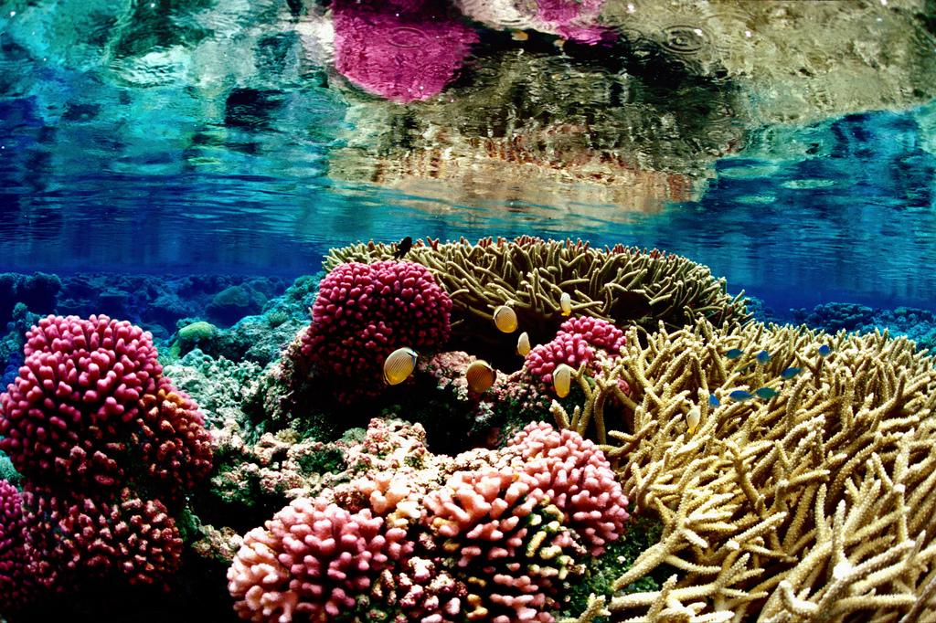 Koraal overleeft beter in de warmer wordende oceanen dan gedacht. Foto: USFWS-Pacific Region