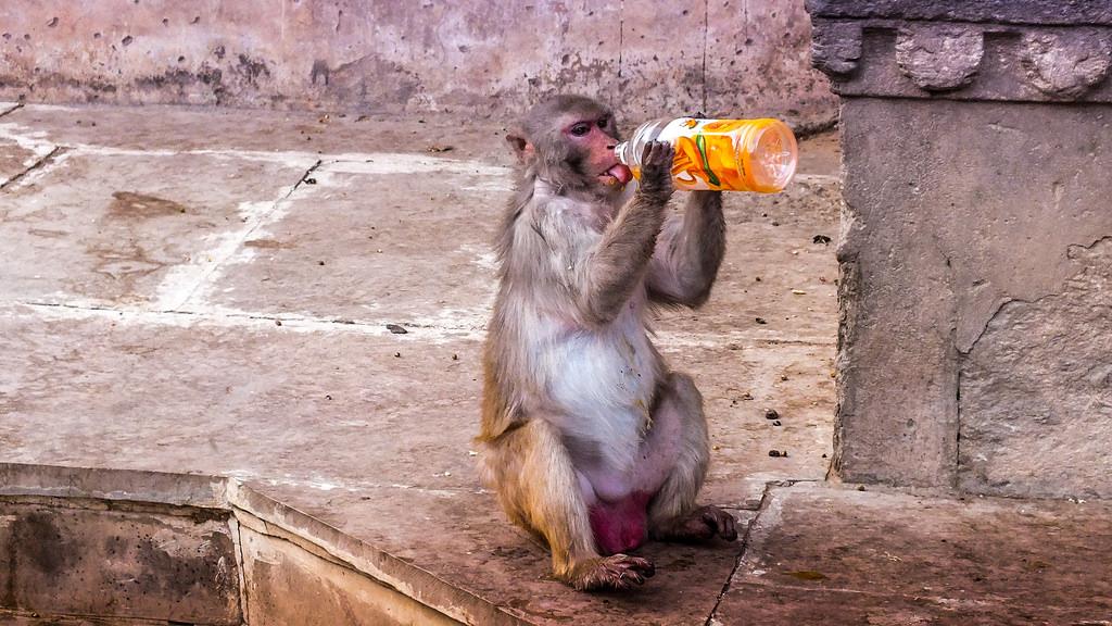 Brutale makaken eisen snacks voor gestolen waar