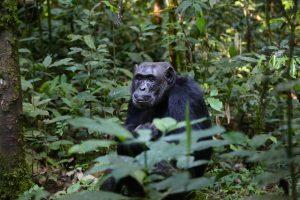 Wat zijn de chimpansees van plan? Beeld: Max Pixel