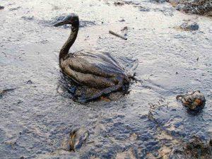 Deze vogel was het slachtoffer van een olievlek die zich verspreidde over de Zwarte Zee.  Bron: Marine Photobank