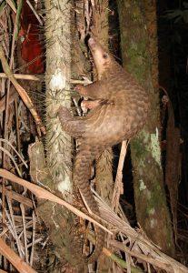 Een Javaanse schubdier. Bron: xxx