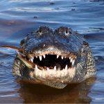 alligator-water-amerikaans