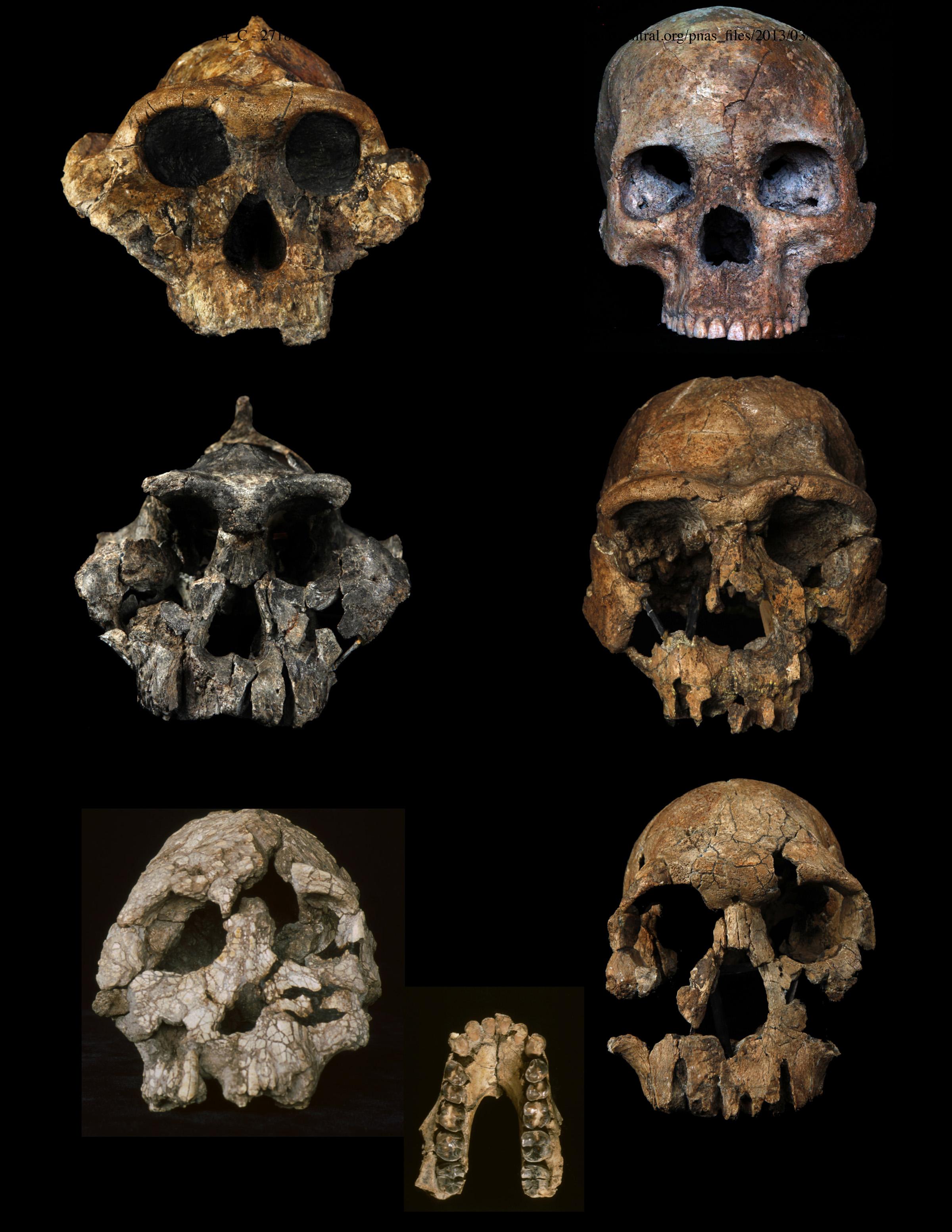 Schedels van enkele onderzochte mensachtigen. Van linksboven naar linksonder: Paranthropus bosei (1,7 miljoen jaar), Paranthropus aethiopicus (1,3 miljoen jaar) en Kenyanthropus platyops (3,3 miljoen jaar). Van rechtsboven naar rechtsonder: Homo sapiens (10.000 jaar), Homo ergaster (1,6 miljoen jaar) en Homo rudolfensis (1,9 miljoen jaar). Midden: onderkaak van Australopithecus anamensis, (4 miljoen jaar). Bron: nationaal museum Kenya, Mike Hettwer en Yang Deming