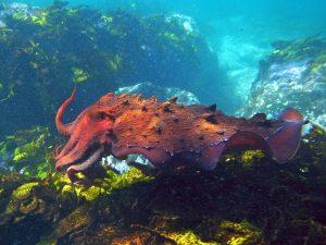 Alleen met de grote Australische zeekat gaat het minder goed, maar wereldwijd nemen de aantallen inktvissen toe. Foto: Sylke Rohrlach