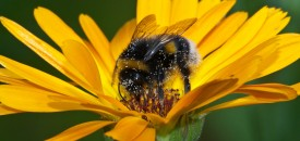 Some_sort_of_bumble_bee