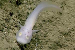 'Spookvis' uit een familie die nog nooit eerder levend was gezien. Bron: NOAA, Okeanos Explorer