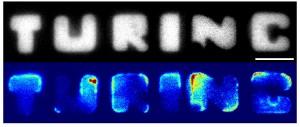 Ter ere van Alan Turing: E. coli bacteriën die zijn naam spellen. Foto: Fabai Wu/Cees Dekker Lab TU Delft.