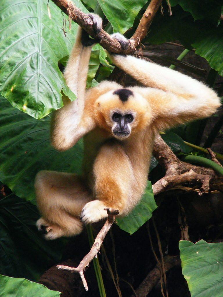 De 25 overgebleven Hainangibbons leven in vier families in het Bawanglang natuurreservaat op Hainan. Bron: xxx