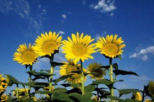 Deze zonnebloemen staan klaar om de zon te begroeten.