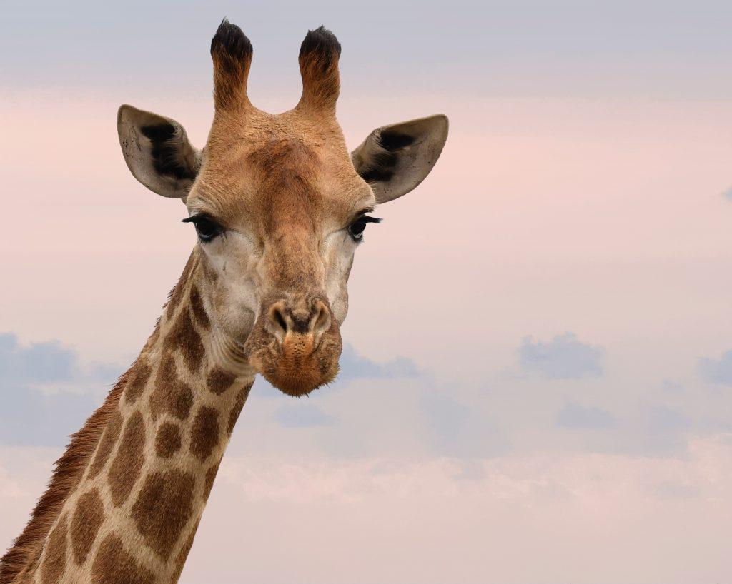 Elke giraffe heeft een uniek vlekkenpatroon. Beeld: Frans Van Heerden/Pexels