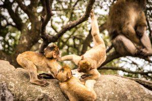 Jonge berberapen zoeken meer contact met anderen dan oude apen. Foto: Adrian Scottow