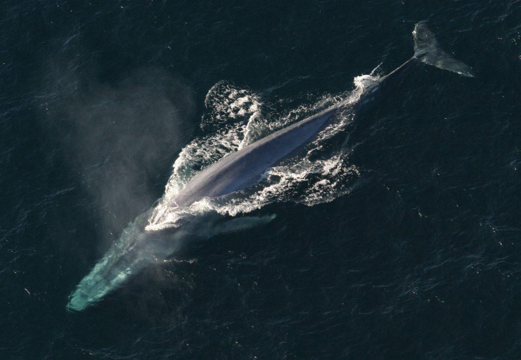 Blauwe vinvissen zouden niet op land kunnen leven. Ze zijn zo zwaar dat hun botten zouden breken. Foto: NOAA photo library