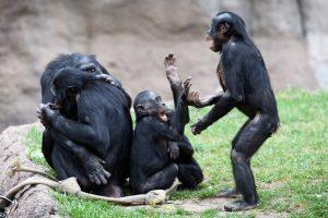 Bonobo's. Beeld: Flickr/Eric Kilby.