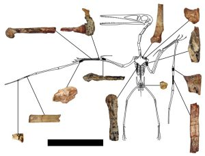 botten Kryptodrakon progenitor