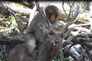 Jonge vrouwelijke apen botvieren hun seksuele frustratie op de rug van herten