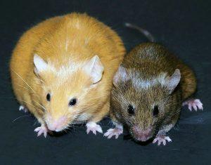 dikke en dunne muis