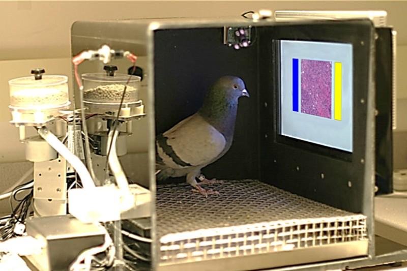 Wetenschappers trainen duiven om borstkanker te herkennen