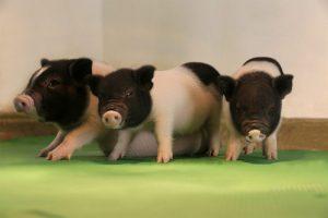 De geboorte van de PERV-vrije biggetjes brengt xenotransplantatie, orgaantransplantaties van dier naar mens, een stapje dichterbij.