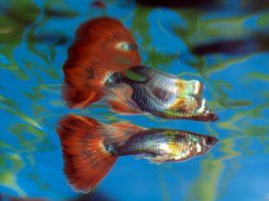 Mannelijke guppy's hebben vaak fellere kleuren dan de vrouwtjes. Foto: Frank Boston