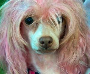 'Bad hair day' krijgt voor criminele honden een andere betekenis. Foto: psyberartist (creative commons, via Flickr)