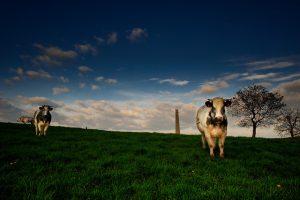 koe-koeien