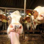 Resistentie tegen antibiotica is waarschijnlijk ontstaan in de veehouderij, en had waarschijnlijk kunnen worden voorkomen.