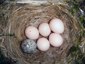 Kuifkoekoeken broeden hun eieren niet zelf uit maar laten dit over aan een adoptieouder. Bron: Wikimedia Commons