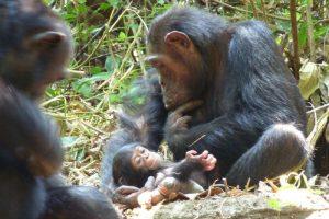 Babychimpansee seconden na de geboorte door mannetje weggerukt en opgegeten